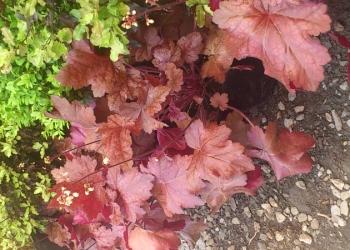heuchera_sparkling_burgundy