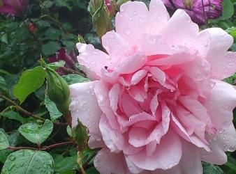 rose_albertine_(2)